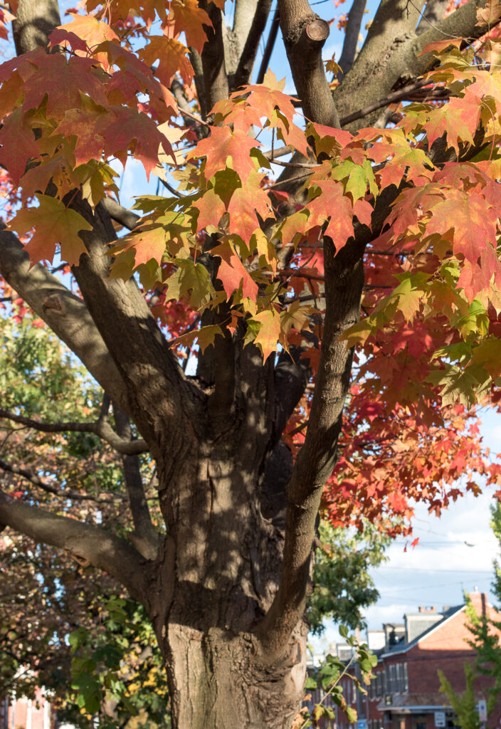 Maple tree with autumn leaves
