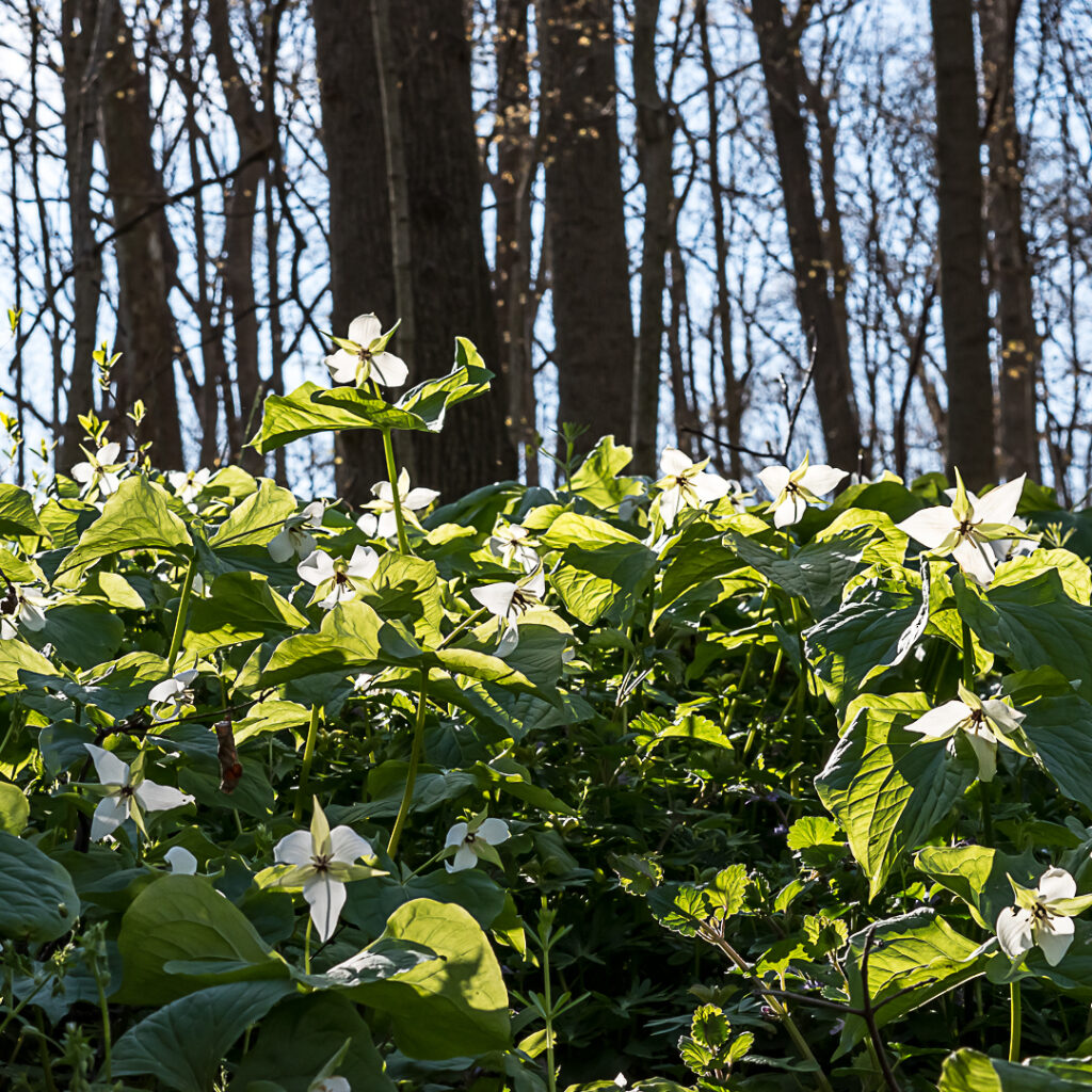 Trillium flowers backlit by the sun