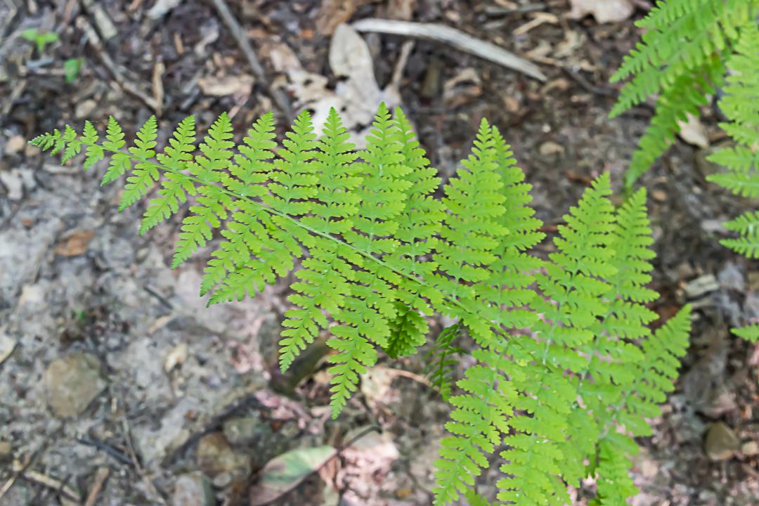 Hay-scented Fern, Dennstaidtia punctilobula