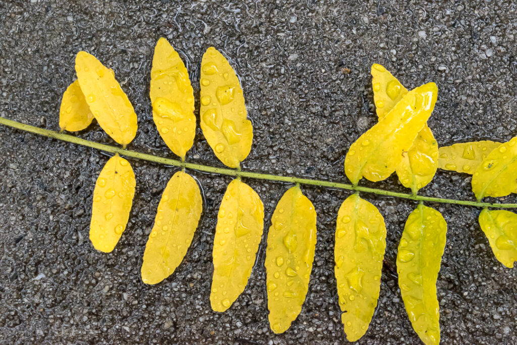 Yellow leaves on a sidewalk covered in raindrops