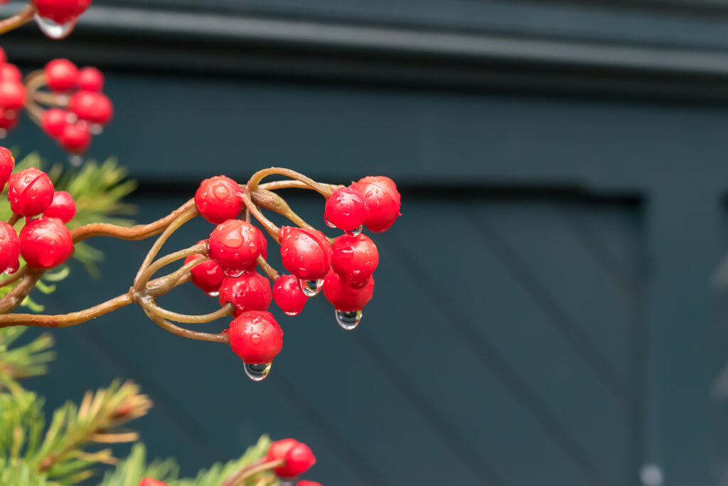 Rain drops on red berries