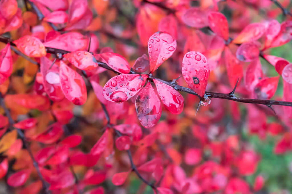 Raindrops on red leaves.