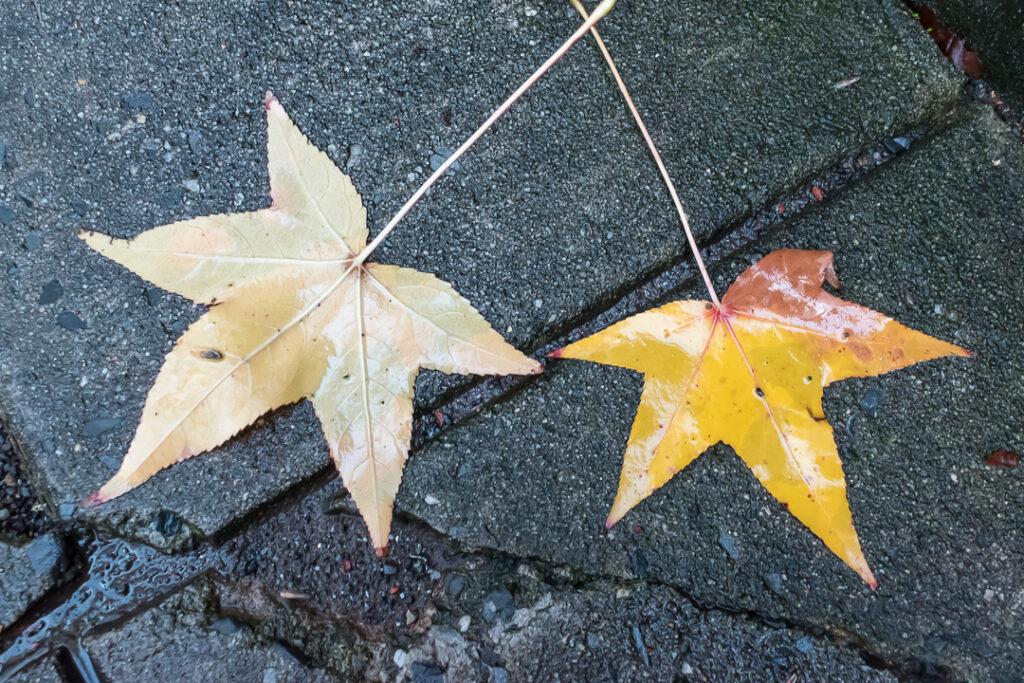 Rain soaked Sweet Gum leaves