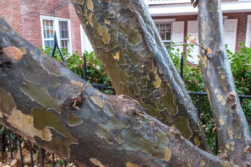 Rain soaked Sycamore bark