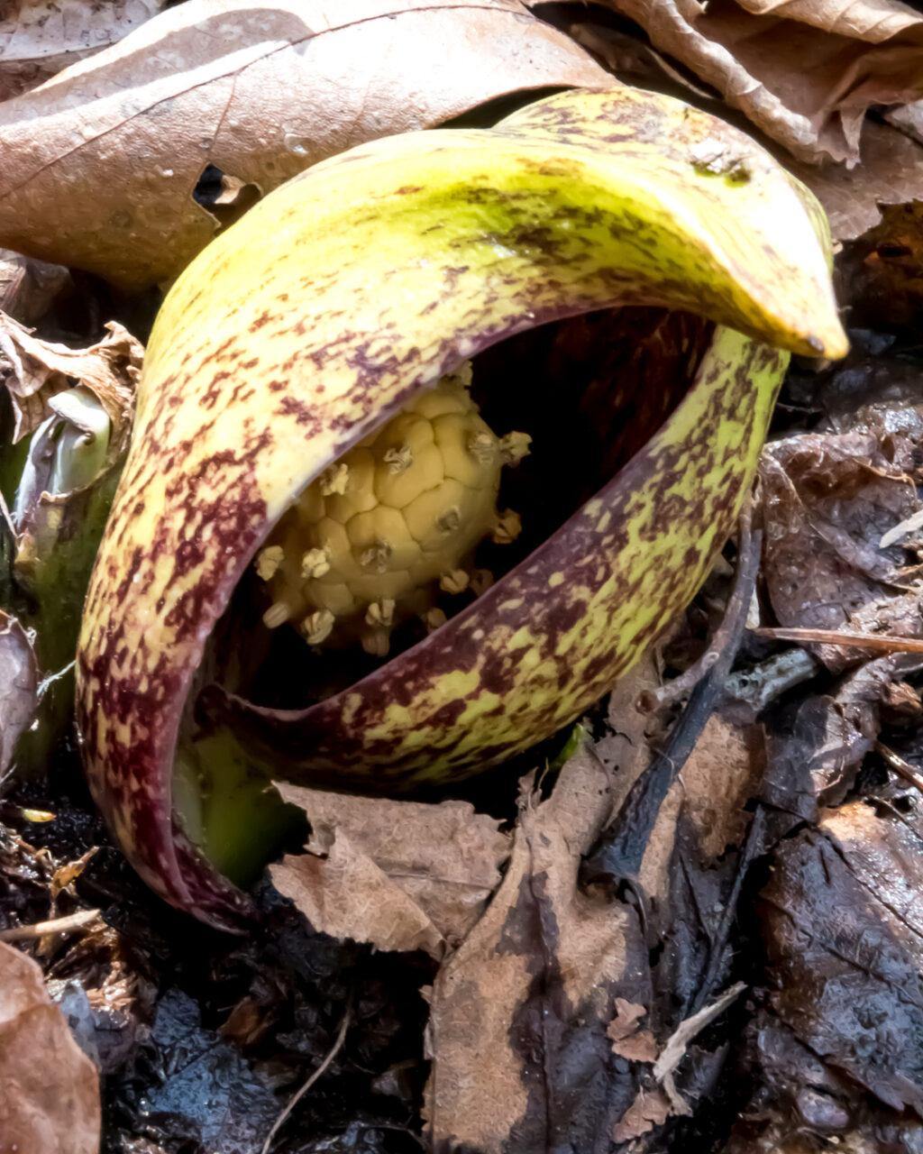Skunk Cabbage Flower