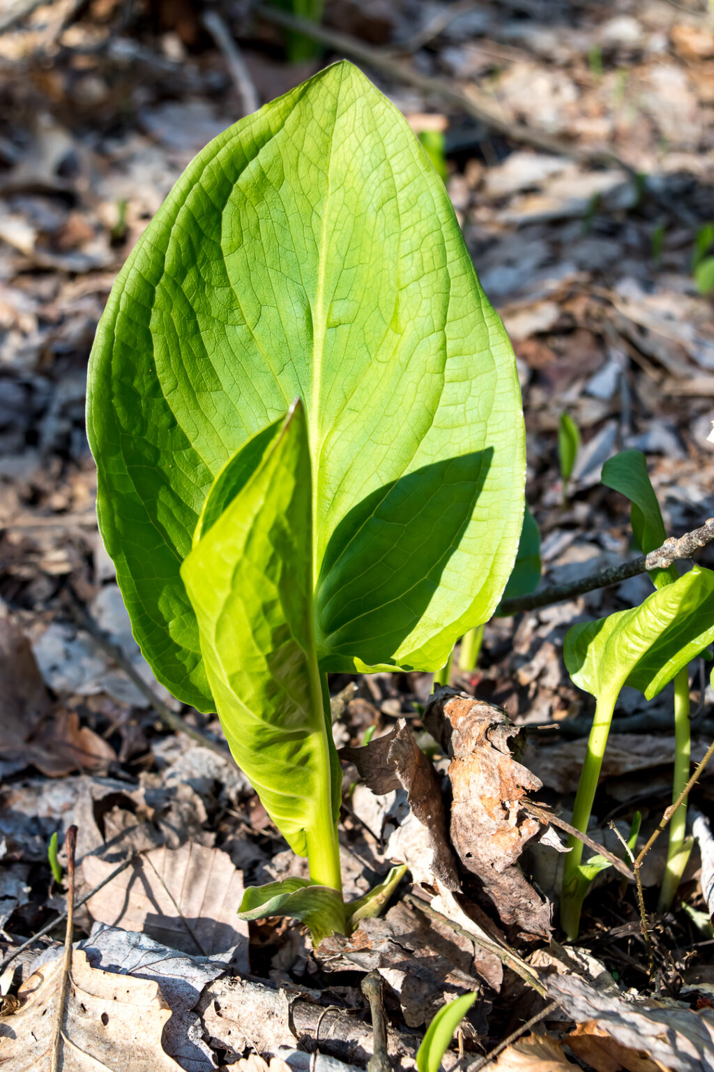 Skunk Cabbage leaves sprouting