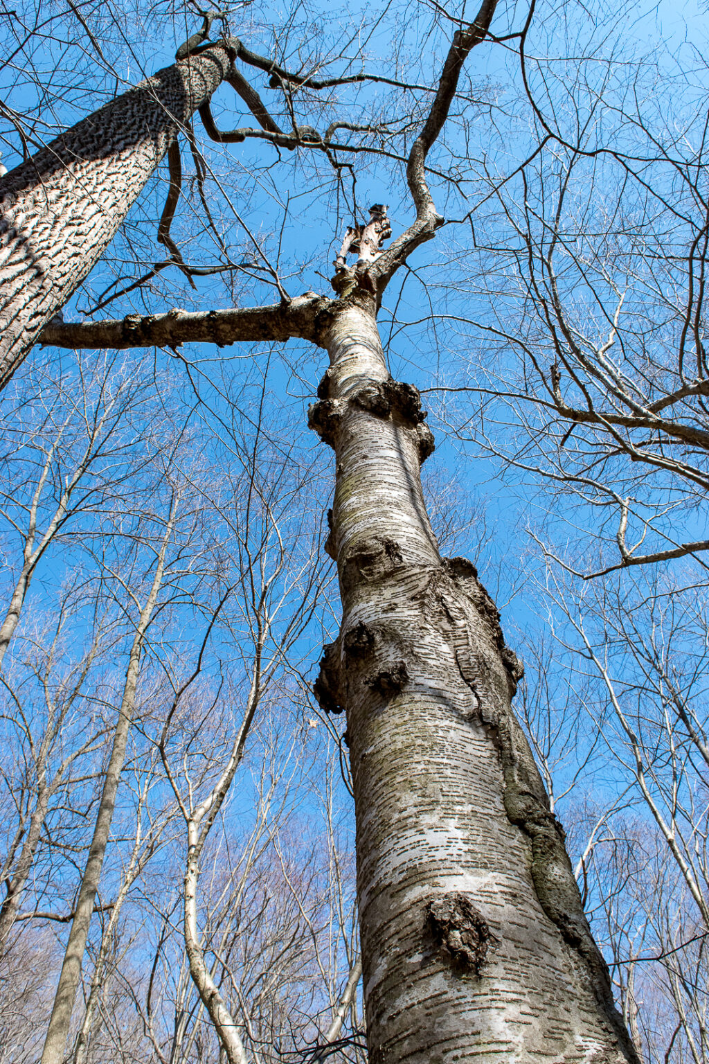 Yellow Birch tree trunk against blue sky