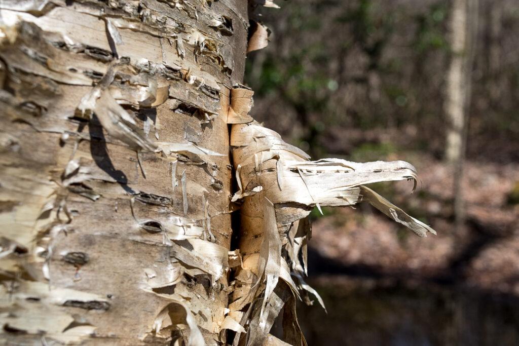 Peeling yellow birch bark