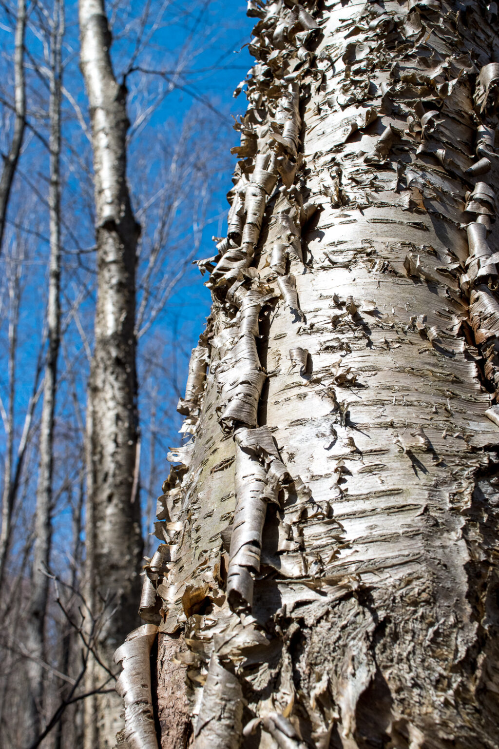 Peeling yellow birch bark