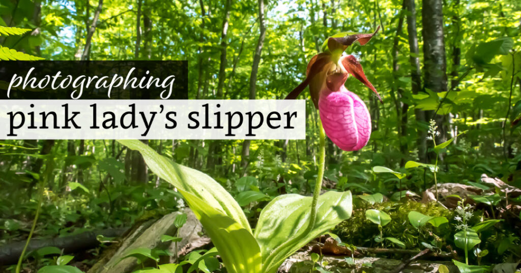 Photographing Pink Lady's Slipper