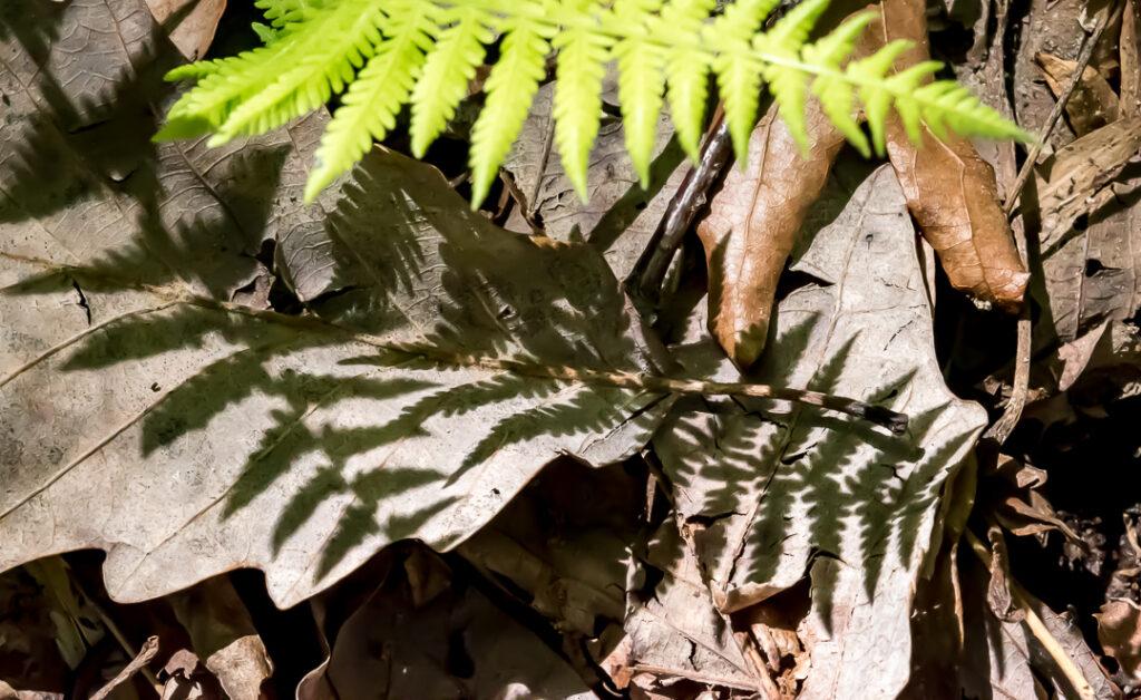 Fern shadows on dried, brown leaves