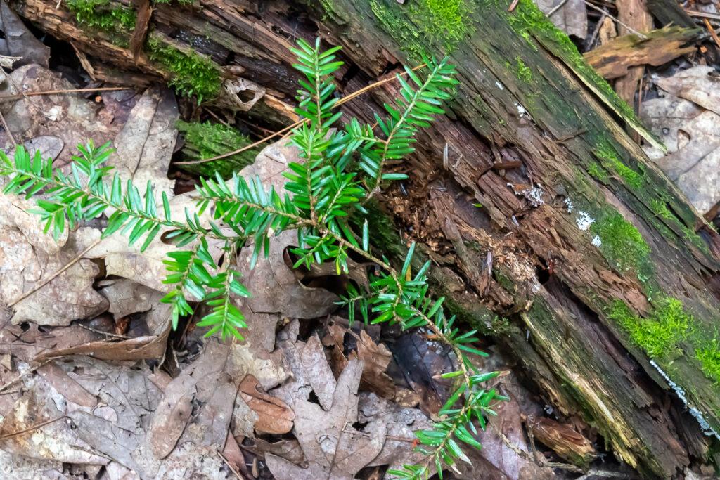 Hemlock needles with rotting log